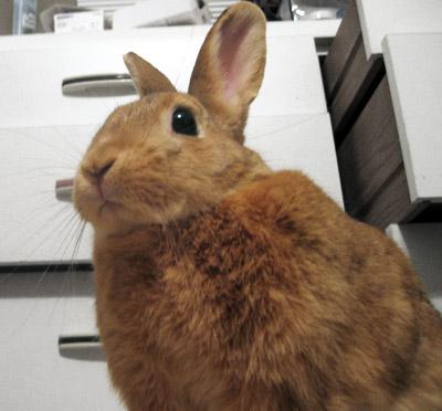 yoda bunny